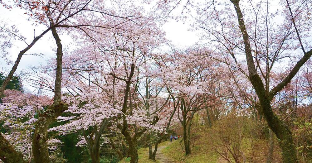 小峰公園の桜