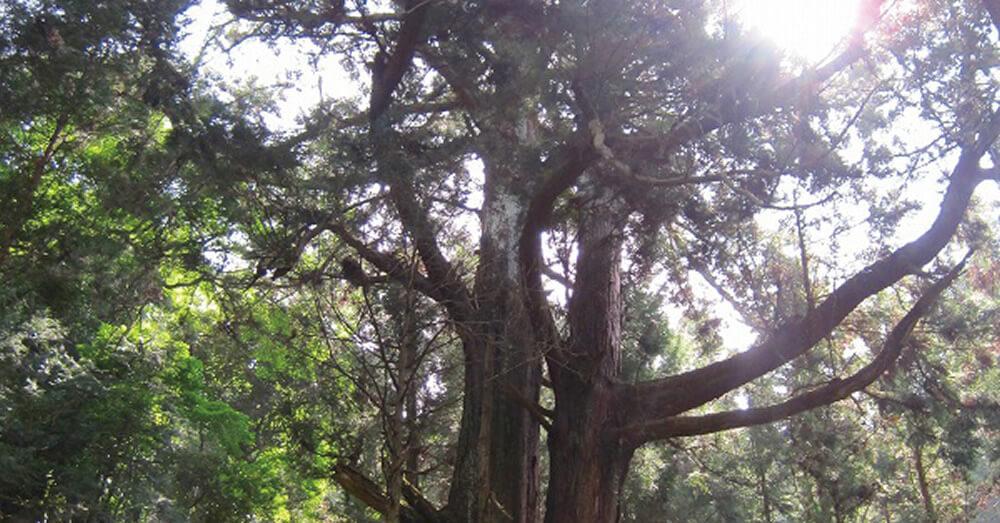 千年の契り杉